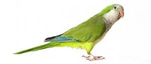 pappagalli-2-ok